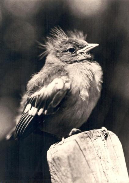 Junger Buchfink Vorderseite