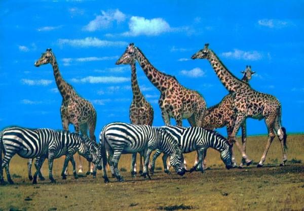 Zebra und Giraffe, Kenya Vorderseite
