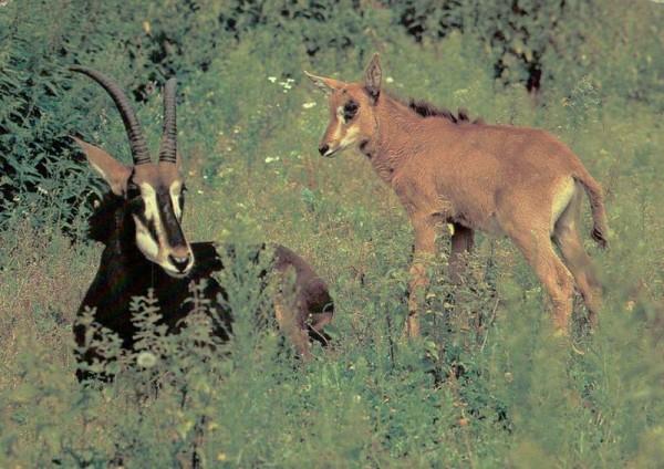 Rappenantilope mit Kalb Vorderseite