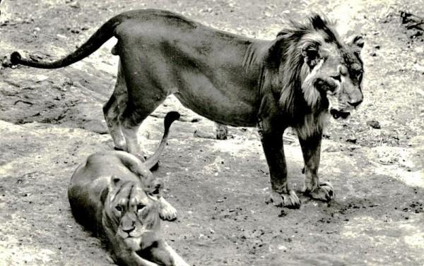 Löwenpärchen, Afrikanische Fauna Vorderseite