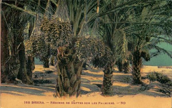 Biskra, Régimes de dattes sur les palmiers Vorderseite