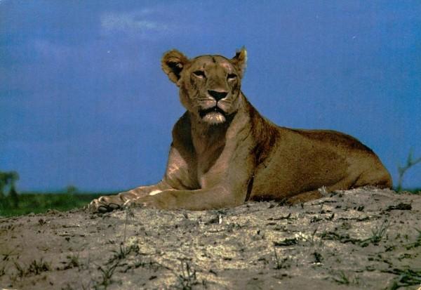 Löwin in der Wildnis Afrikas Vorderseite