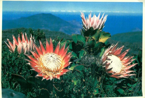 Proteas on top of table Mountain, South Africa Vorderseite