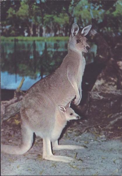 Känguru Vorderseite