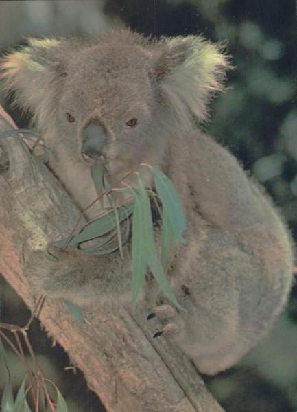 Koala-Bär Vorderseite