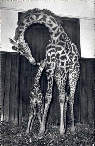 Zoo Basel, Giraffenkind Baschi, 1954 Vorderseite