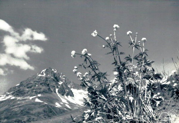 Trollblumen in den Bergen Vorderseite