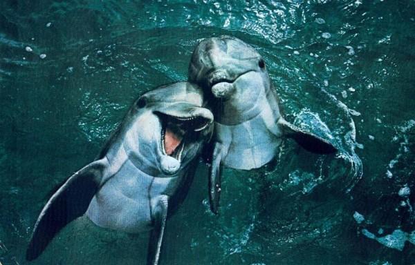 Bottlenose Dolphins Vorderseite