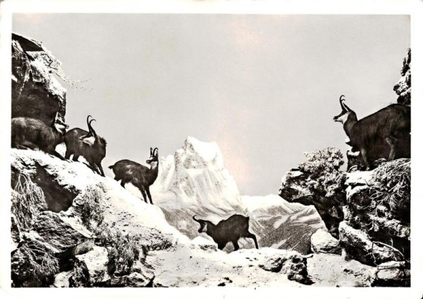 """Schweizerische Landesausstellung Zürich 1939, Gemsengruppe in der Abteilung """"Jagd"""" Vorderseite"""