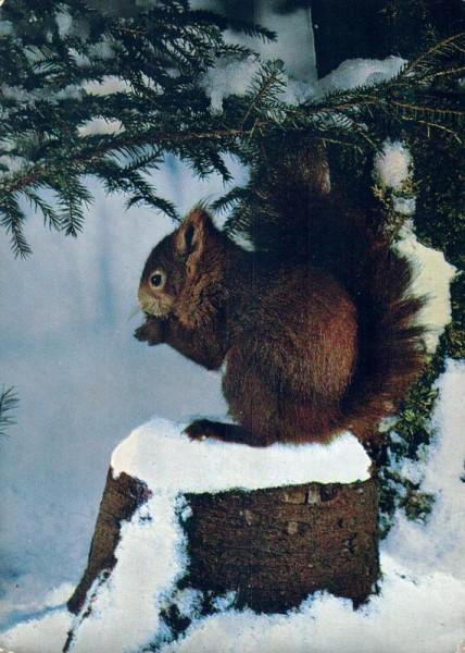 Eichhörnchen Vorderseite