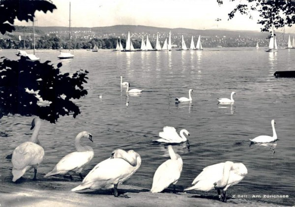 Am Zürichsee. Schwäne Vorderseite