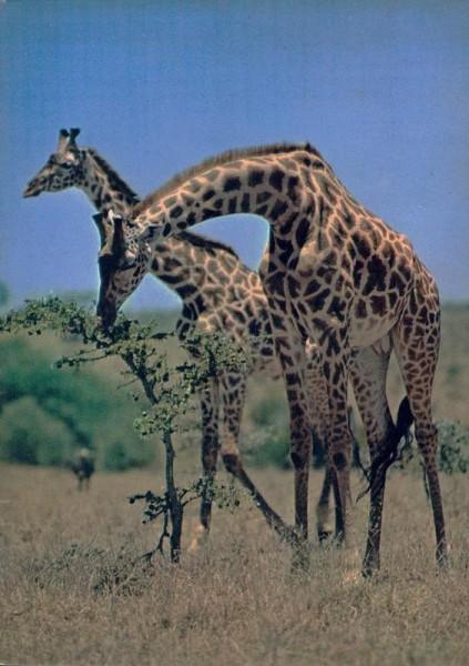 Giraffes, Kenya Vorderseite