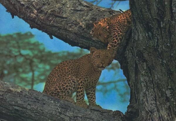 Leopard, Kenya Vorderseite