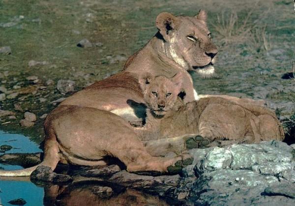 Löwin mit Junges, Kenya/Tanzania Vorderseite